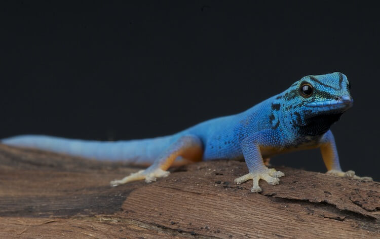 100+ Best Gecko Names: Ideas For Your Crested Pet Lizard ...