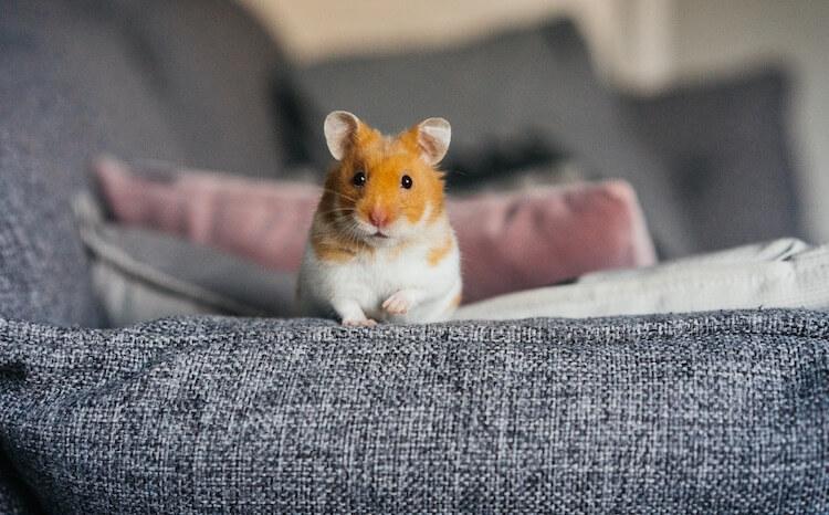 Female Hamster Names