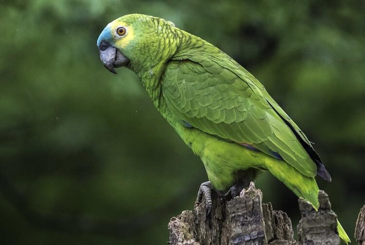 Green Pet Parrot