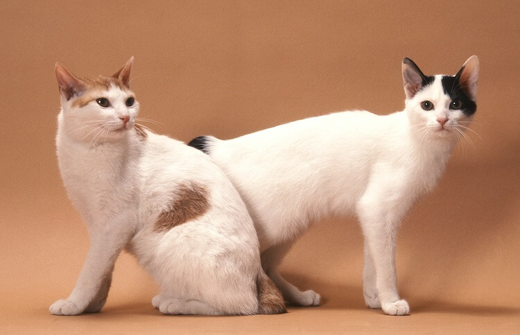 Pair of Japanese Cats