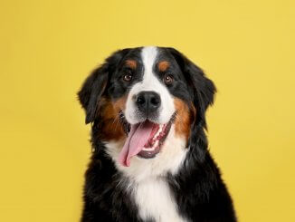 Bernese Mountain Dog Names Feature