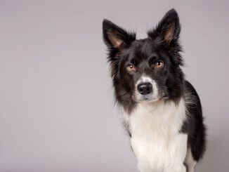 Border Collie Names Feature
