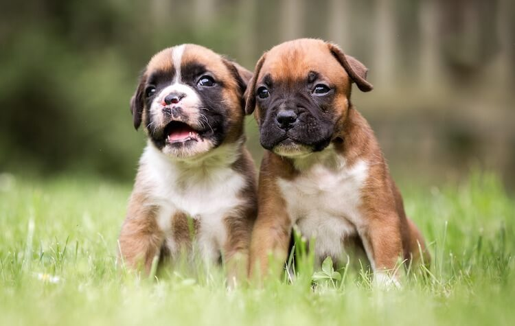 Boxer Puppy Names