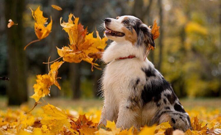 Cute Aussie Puppy