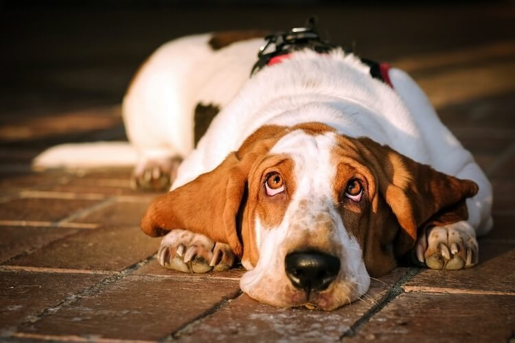 Cute Basset Dog