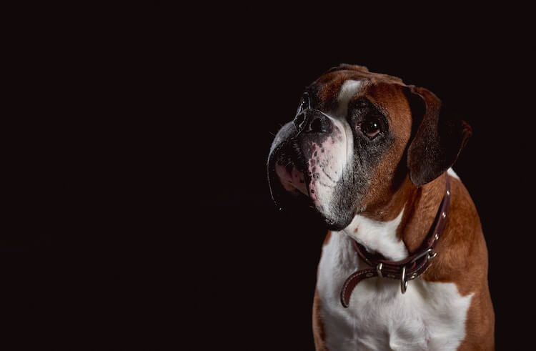 Cute Boxer Dog