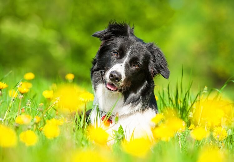 Male Border Collie