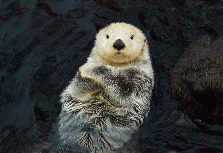 Russian Baby Sea Otter Pet
