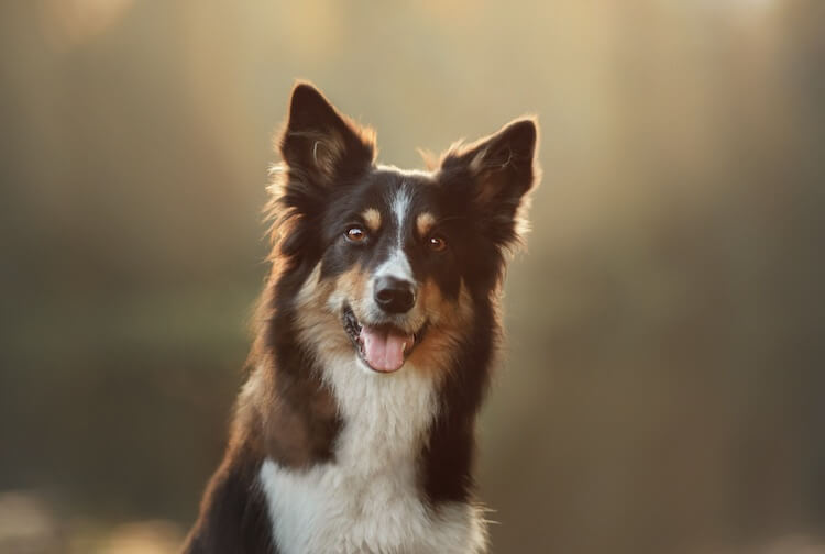 Traditional Collie