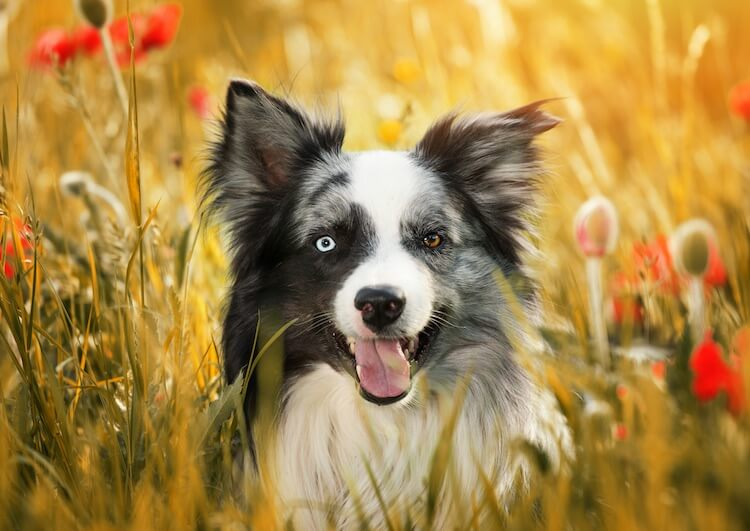 Unique Collie