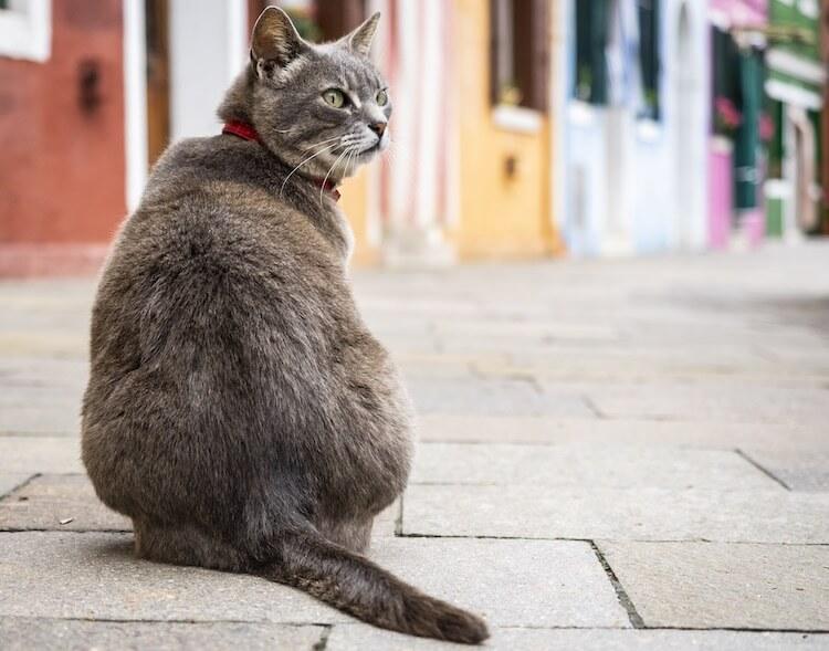 Italian Cats