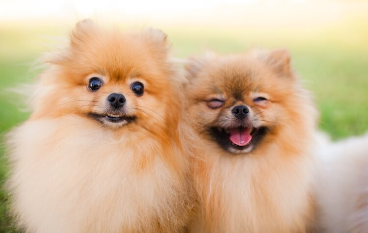 Small Dogs Laughing