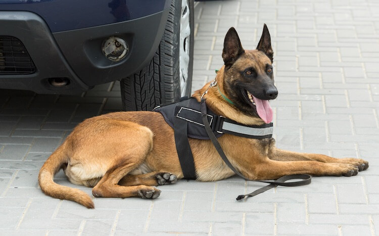 Belgian Malinois Military Dog