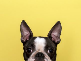 Boston Terrier Names Feature