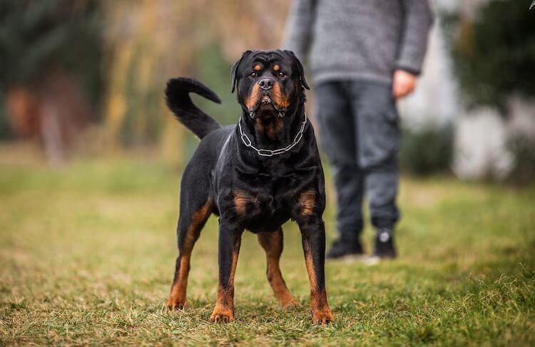 German Rottweiler Names