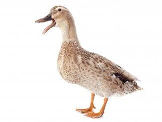 Duck Puns Feature Image