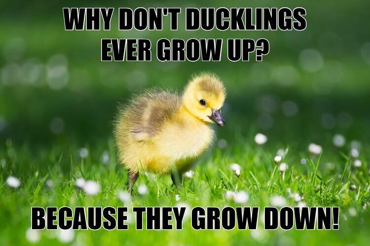 Ducklings Grow Down Meme