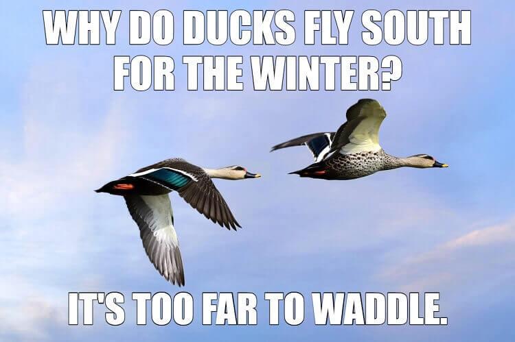 Ducks Fly South Meme