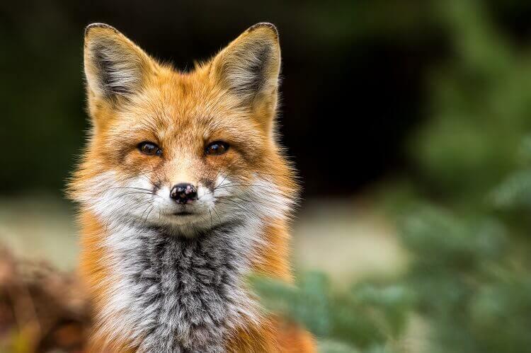 Red Fox Looking Through Bush