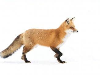 Red Fox White Background