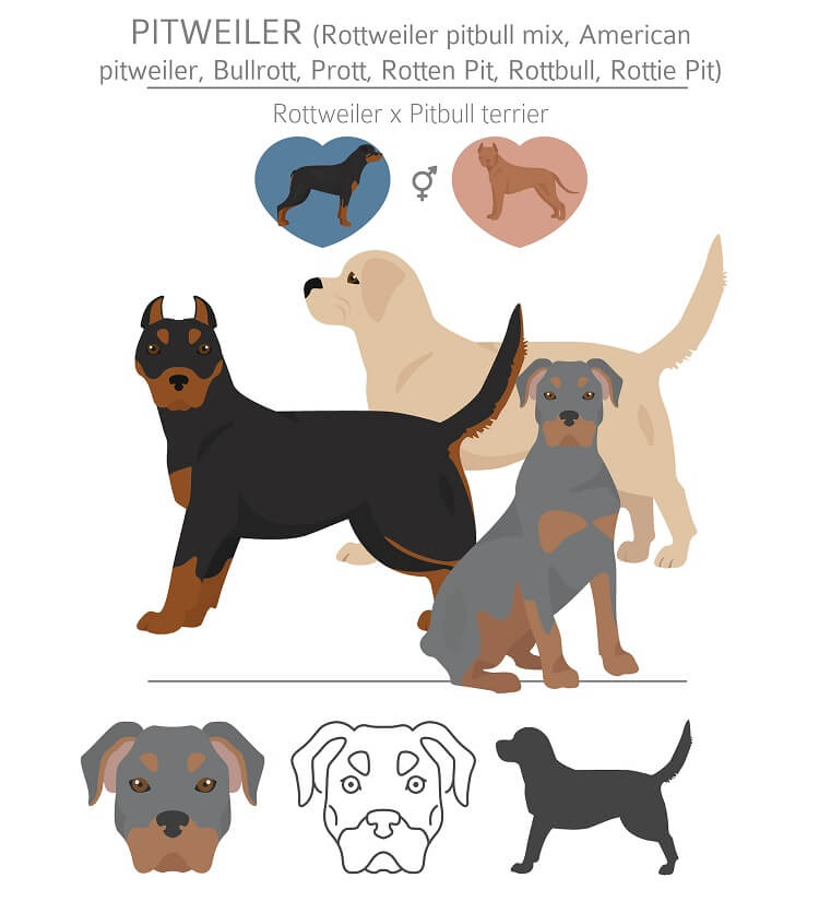 Rottweiler Pitbull Mix Nicknames Coats