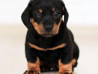 Rottweiler Pittbull Mix Puppy