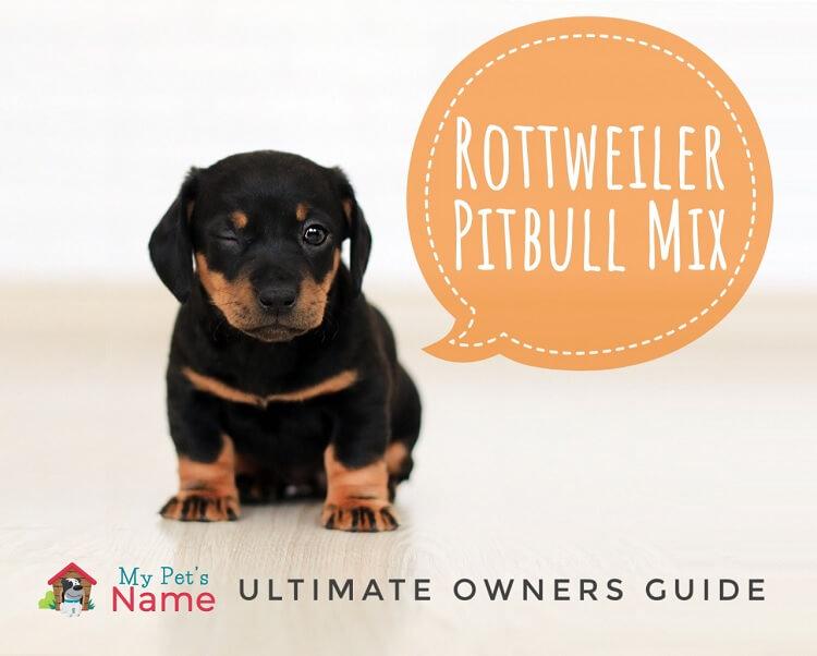 Rottweiler Pittbull Mix Puppy My Pet's Name
