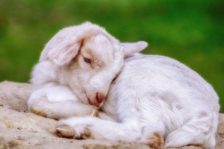 Cute White Goat
