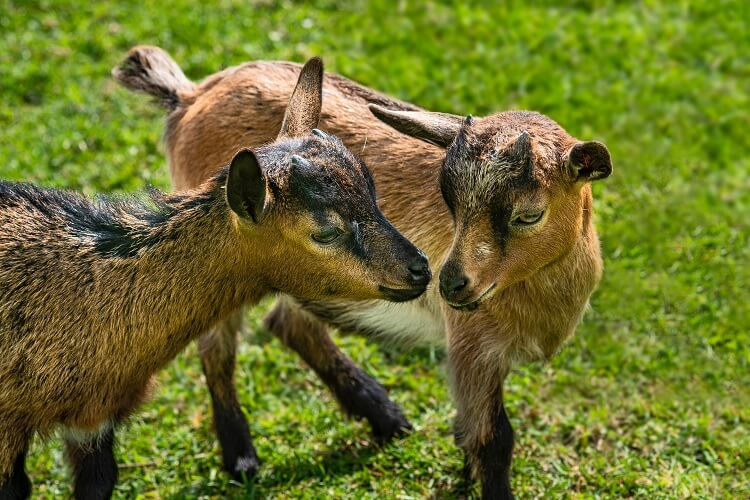Twin Brown Goats